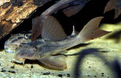 Hypostomus basilisko
