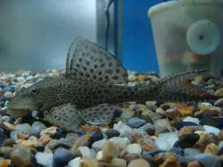 Hypostomus bolivianus - Click for species page
