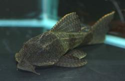 Hypostomus borellii - Click for species page