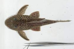 Hypostomus cf. paulinus