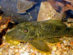 Hypostomus cf. ternetzi