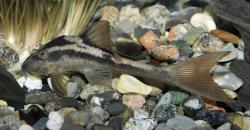 Hypostomus cochliodon - Click for species data page