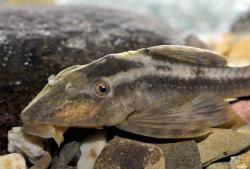 Hypostomus cochliodon