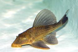 Hypostomus commersoni - Click for species page