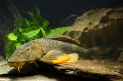 Hypostomus jaguribensis - Click for species page
