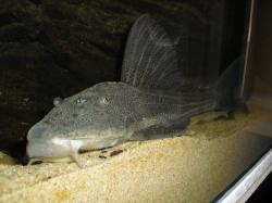 Hypostomus laplatae - Click for species page