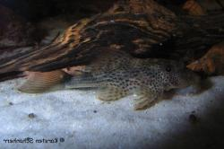 Hypostomus micromaculatus - Click for species page
