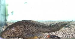 Hypostomus oculeus - Click for species page
