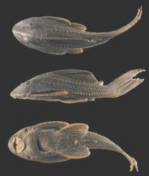 Hypostomus oculeus