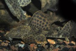 Hypostomus plecostomoides - Click for species page