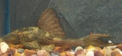 Hypostomus plecostomoides