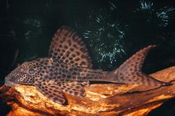 Hypostomus plecostomus - Click for species page