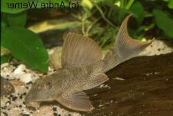 Hypostomus rhantos - Click for species data page