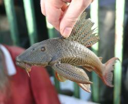Hypostomus robinii - Click for species page