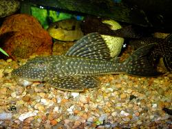 Hypostomus roseopunctatus - Click for species page