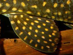 Hypostomus roseopunctatus
