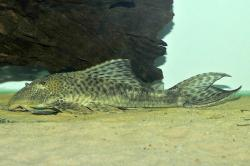 Hypostomus sp. `PARAGUAY` - Click for species page