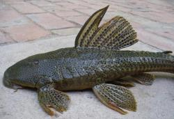 Hypostomus sp. `RIO PILCOMAYO` - Click for species page