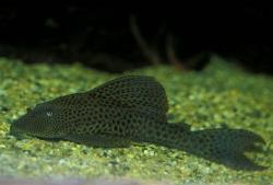 Hypostomus sp. (5) - Click for species page
