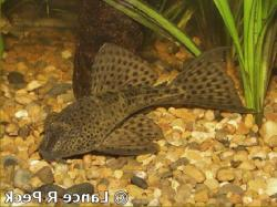 Hypostomus sp. (6) - Click for species page