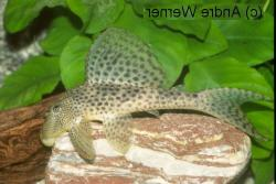 Hypostomus sp. (L130) - Click for species data page