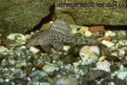 Hypostomus sp. (L145) - Click for species page