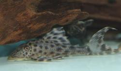Hypostomus sp. (L227) - Click for species data page