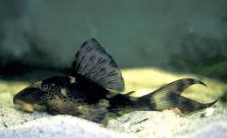 Hypostomus sp. (L229) - Click for species data page