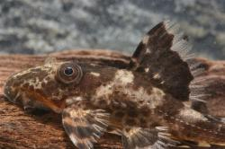 Hypostomus sp. (L229)