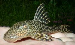 Hypostomus sp. (L245) - Click for species page