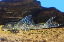 Hypostomus sp. (L246) - Click for species data page