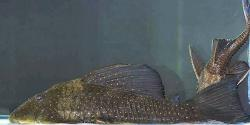 Hypostomus sp. (L286) - Click for species data page
