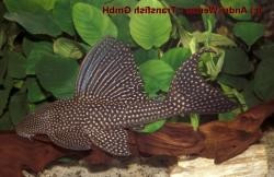 Hypostomus sp. (L311) - Click for species page