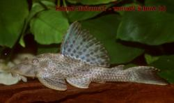 Hypostomus sp. (L379) - Click for species data page