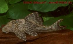 Hypostomus sp. (L381) - Click for species data page