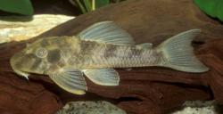 Hypostomus sp. (L389) - Click for species data page