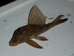 Hypostomus surinamensis