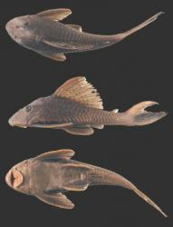 Hypostomus taphorni - Click for species page