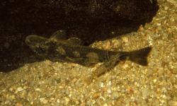 Kronichthys heylandi - Click for species data page