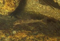 Kronichthys subteres - Click for species data page