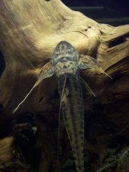 Lamontichthys filamentosus