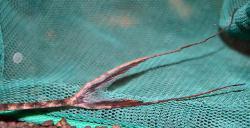 Lamontichthys llanero