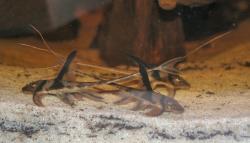 Lamontichthys stibaros