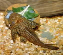 Lasiancistrus saetiger - Click for species page