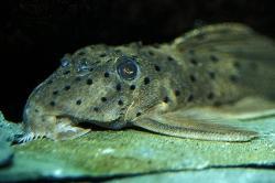 Leporacanthicus sp. (L263)