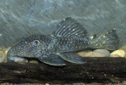 Leporacanthicus sp. (L473) - Click for species data page