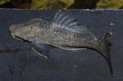 Leporacanthicus sp. (L473)