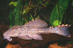 Leporacanthicus triactis