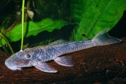 Lithoxancistrus orinoco - Click for species data page