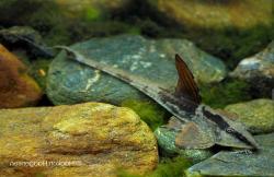 Loricaria sp. `RIO ATABAPO` - Click for species page
